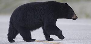 Bear 300 by 145