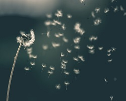 Dandelion seed falling off flower with wind
