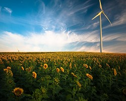 Windfarm sunflowers 3 1
