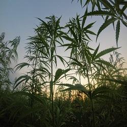 Cannabis legale, i numeri che piacciono al mercato