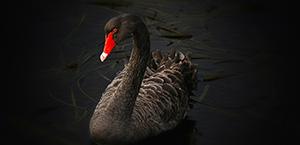 Black swan 300 by 145