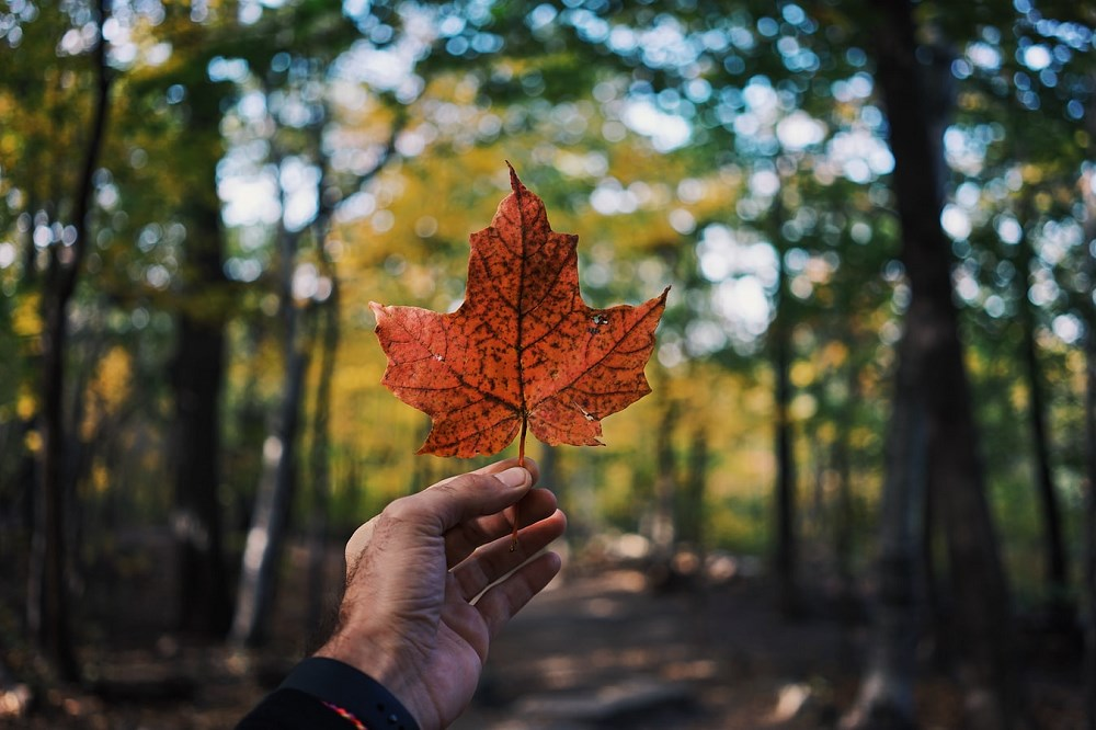 Hand holding maple leaf in forest