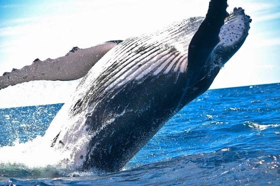 Whale humpback nature ocean biodiversity 1850235 560