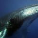Les baleines, un bien public inestimable