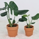 Small large vegetal ceriman 3301769 78